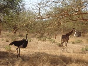 Girafon & Autruche