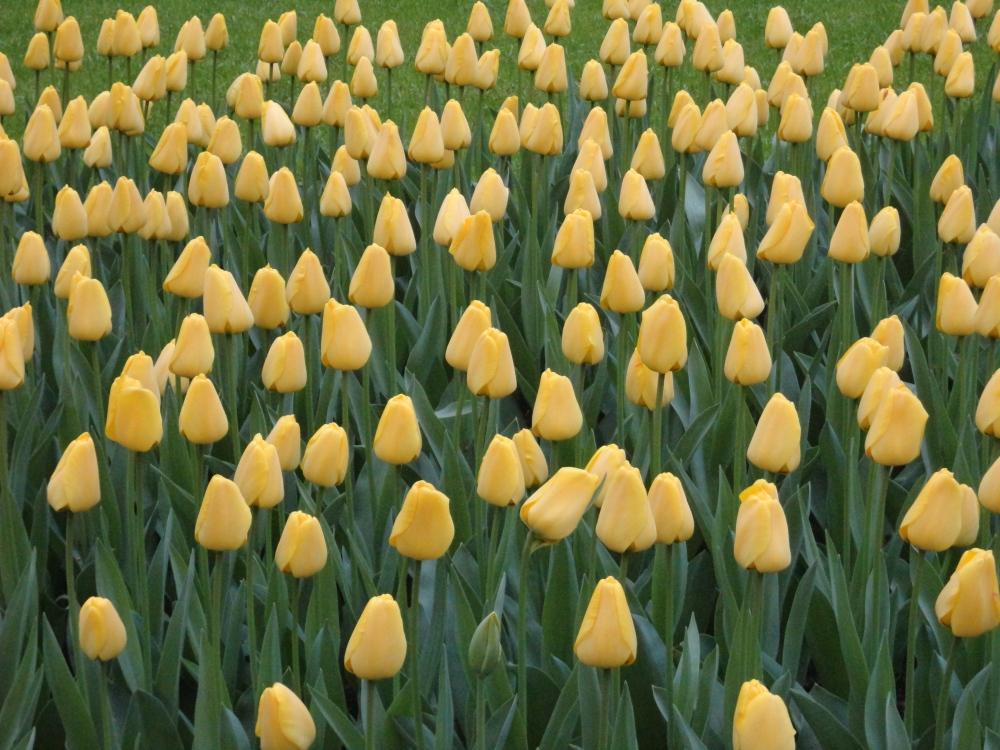 Keukenhof - Tulipes jaunes veloutées