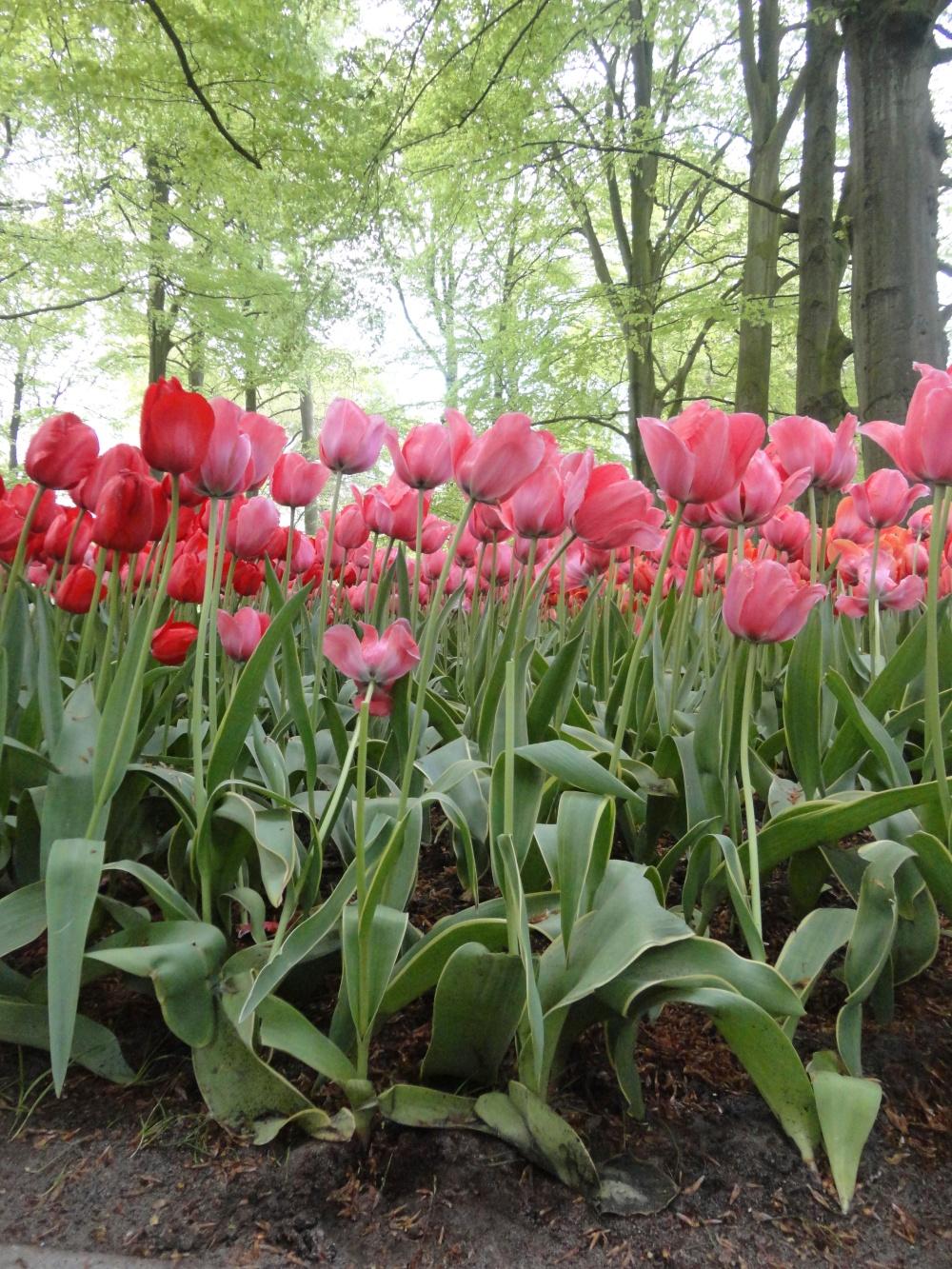 Keukenhof - Tulipes aux longues tiges