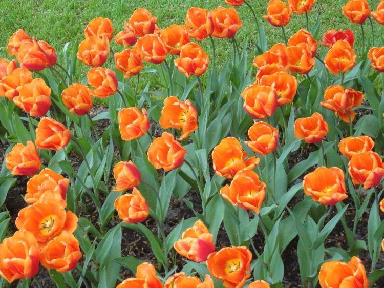 Keukenhof - Tulipes aux couleurs des Pays-Bas