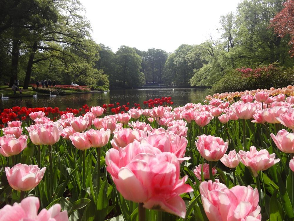 Keukenhof : Tulipes - lac-cignes-arbres.