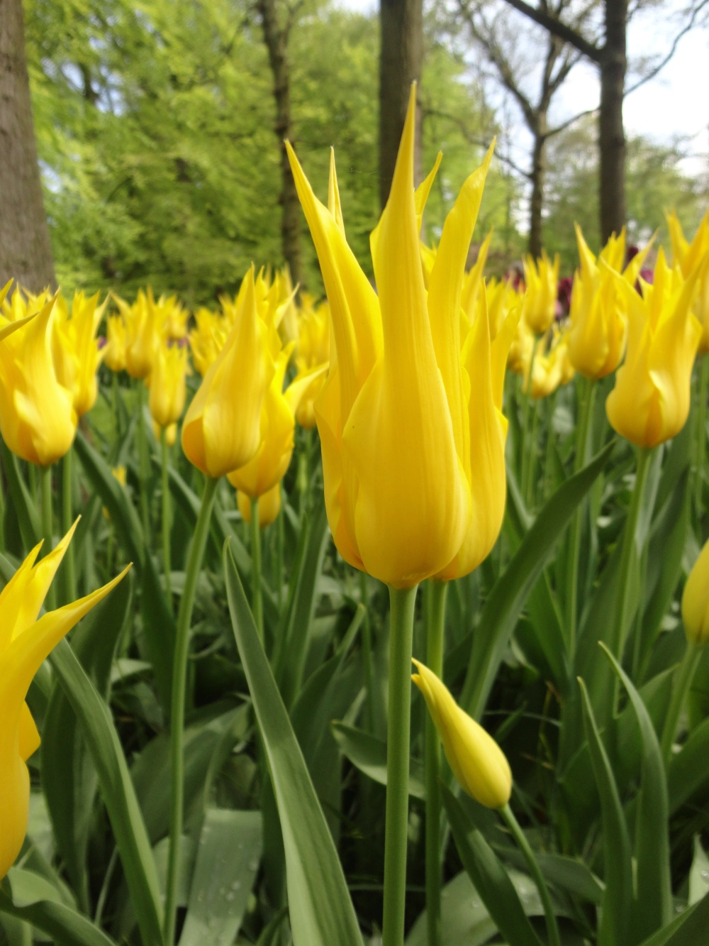Keukenhof - Tulipe jaunes