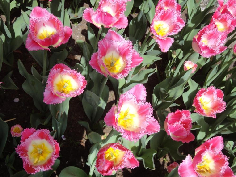 Keukenhof - Tulipes roses aux coeurs jaunes