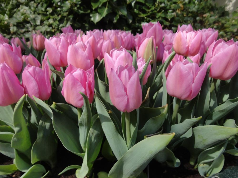 Keukenhof - Tulipes roses