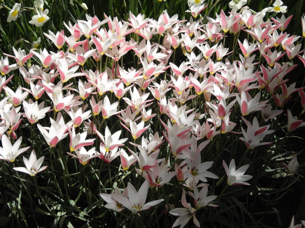 Keukenhof - Narcisses