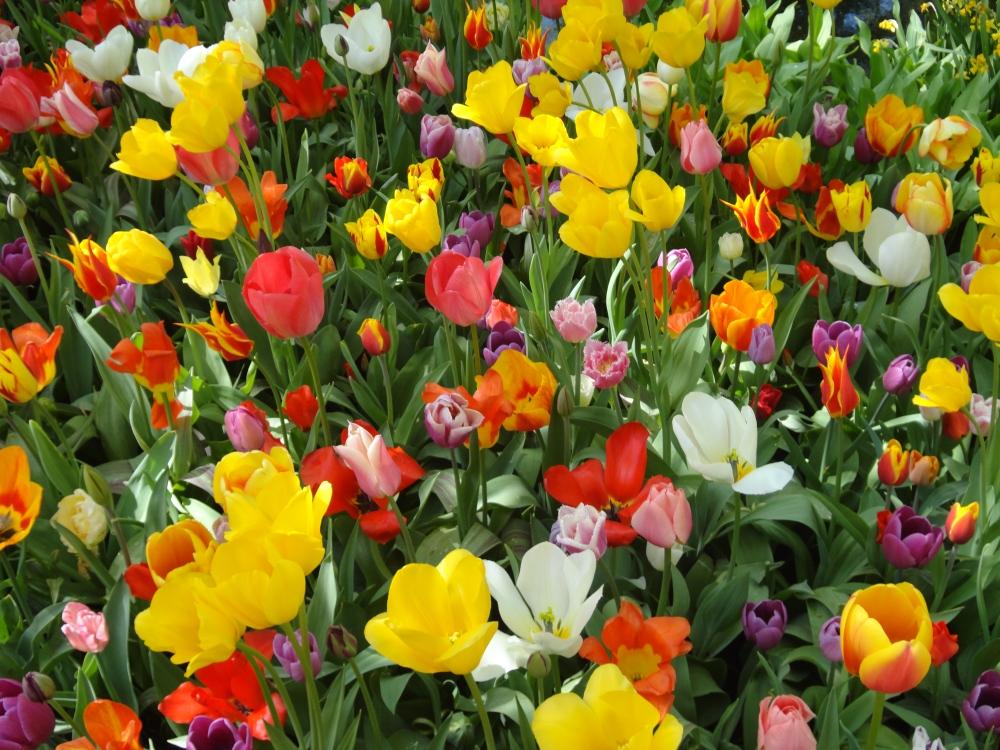 Keukenhof - Fleurs