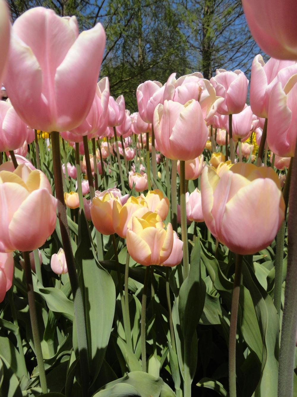 Keukenhof - Tulipes irisées