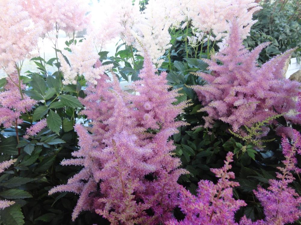 Keukenhof - Fleurs rosées