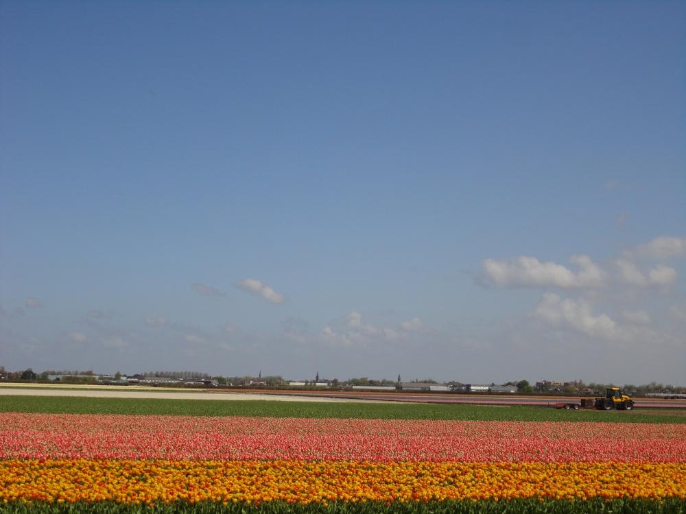Lisse - Champs de Tulipes