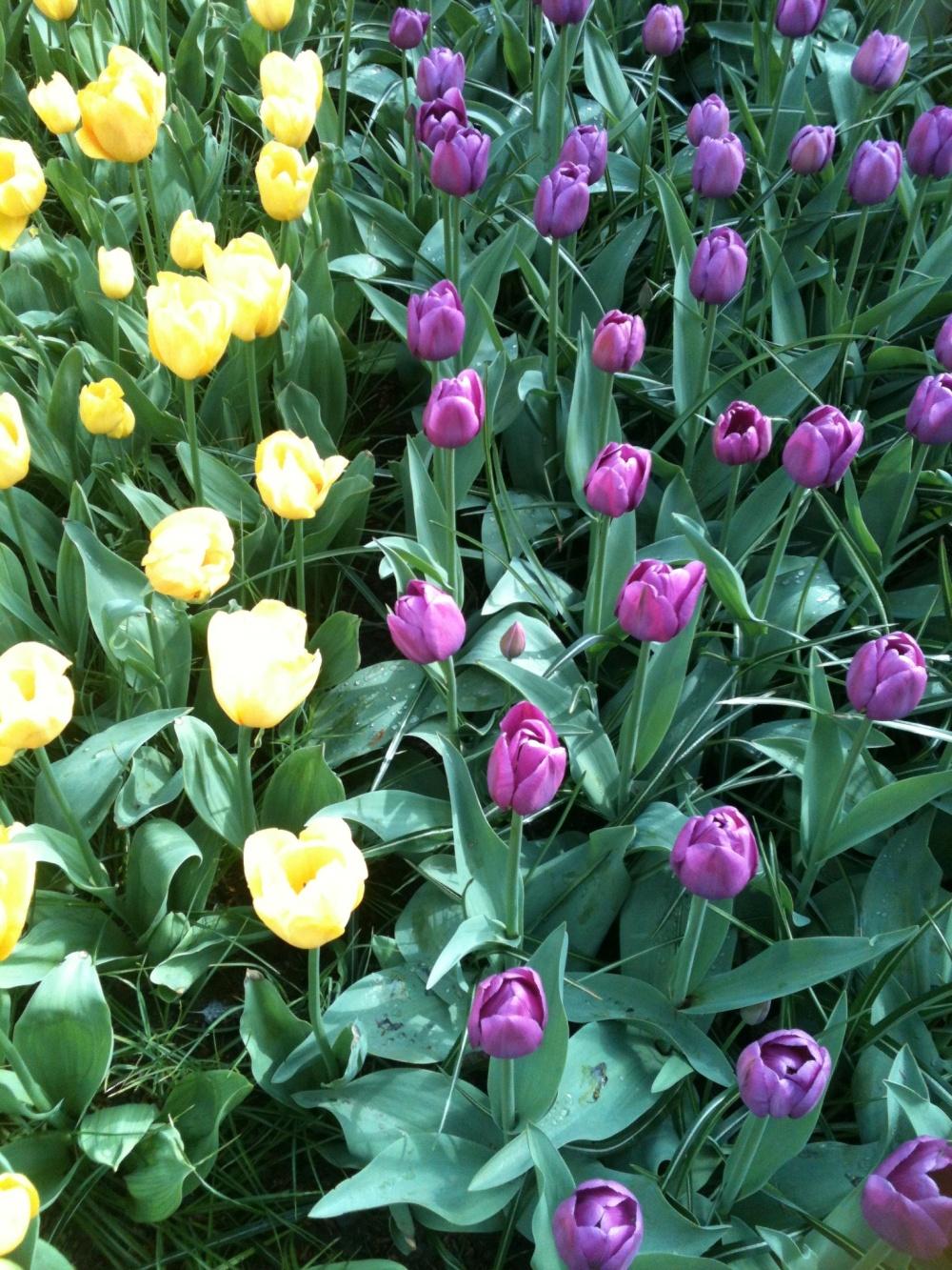 Keukenhof - Tulipes