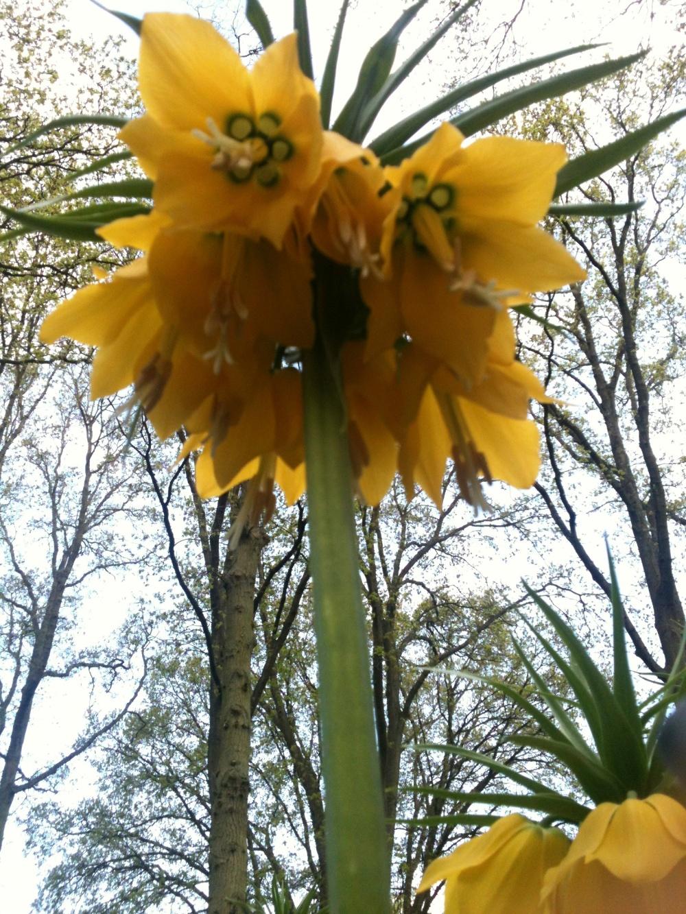 Keukenhof - Fleurs jaunes