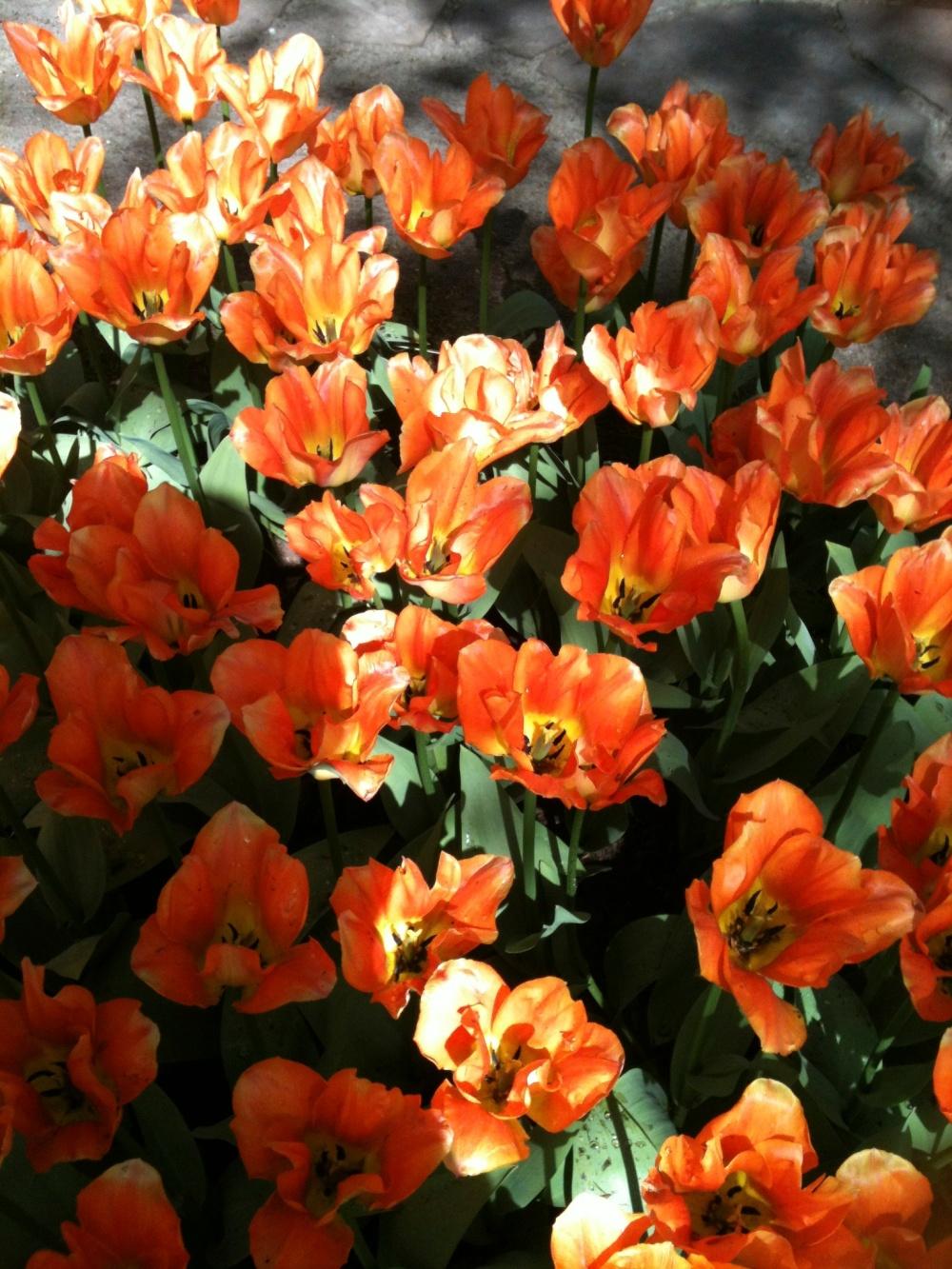 Keukenhof - Fleurs oranges
