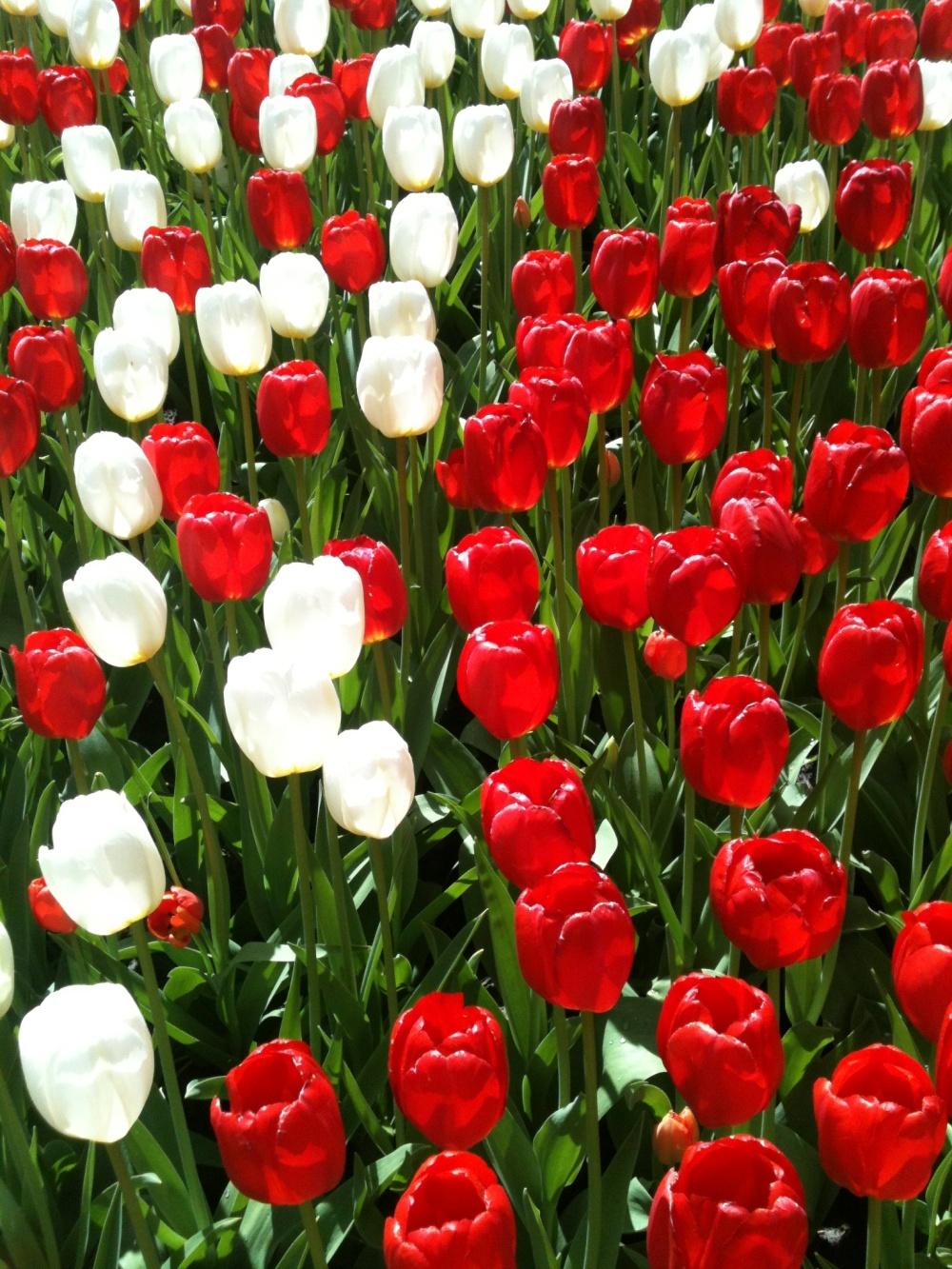 Keukenhof - Tulipes blanches et rouges