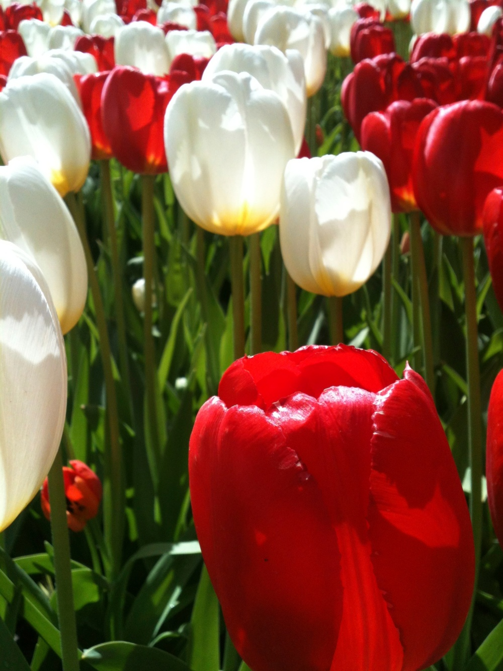 Keukenhof - Tulipes rouges et blanches