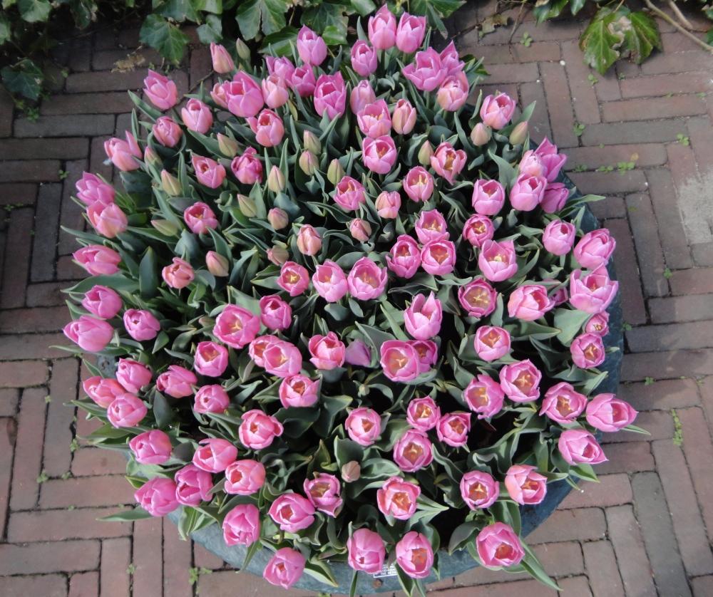 Keukenhof - Tulipes en pot
