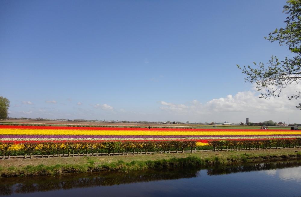 Keukenhof - Champ de tulipes