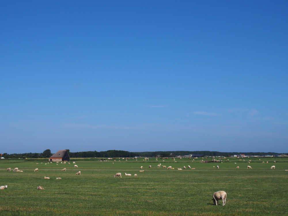 Texel - Moutons