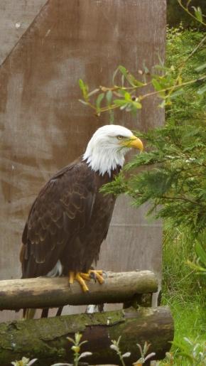 Eagles Flying 6